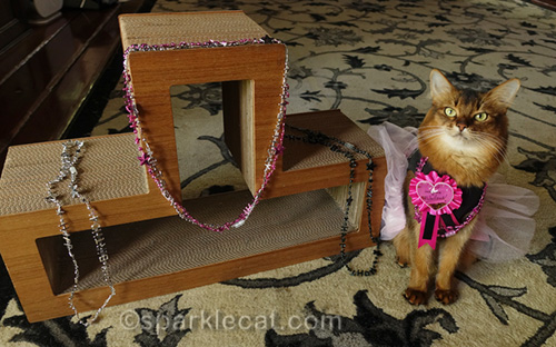 somali cat with scratcher with birthday bling