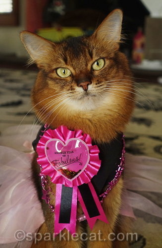 somali cat in party dress wearing a birthday pin