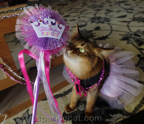 somali cat in party dress with birthday princess wand