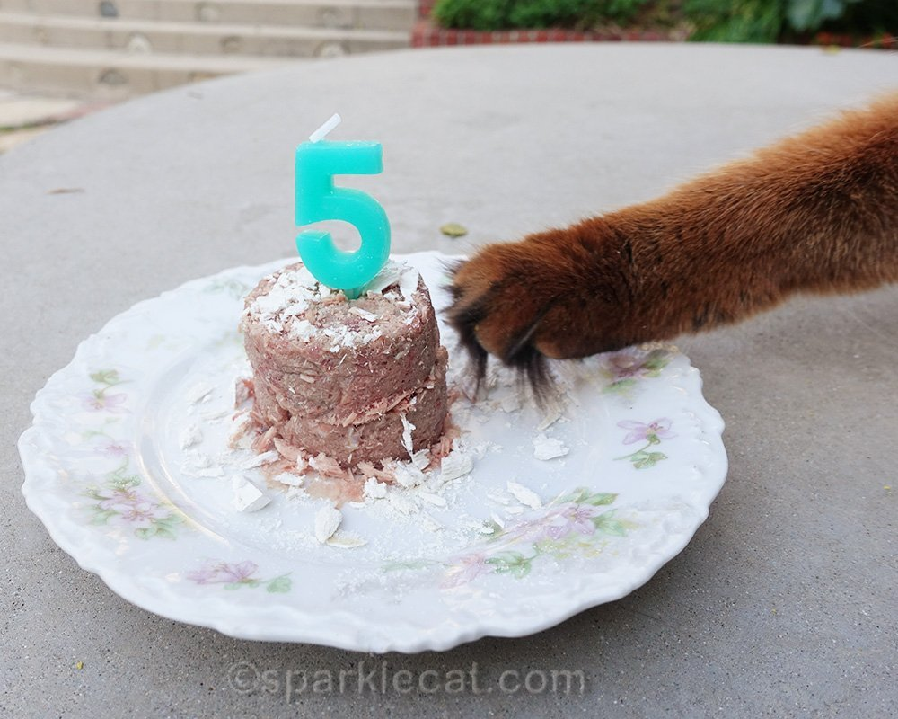 Somali cat reaching for birthday cat food cake