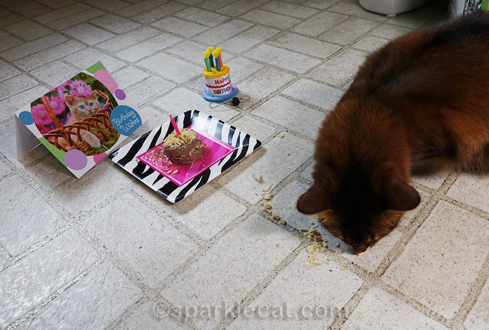 somali cat eating all the treats she can