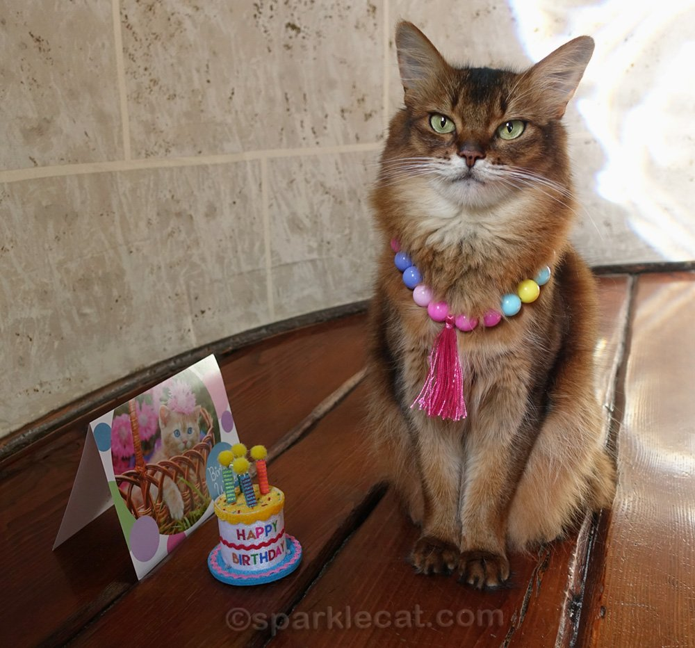 Somali cat posing with necklace birthday gift