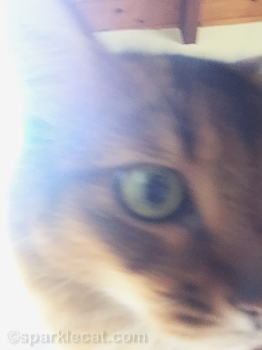 blurry closeup photo of a somali cat