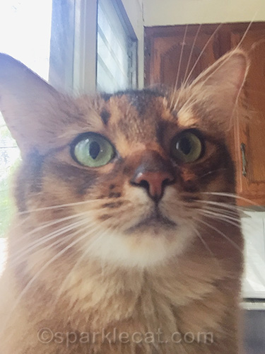 bad closeup of Somali cat