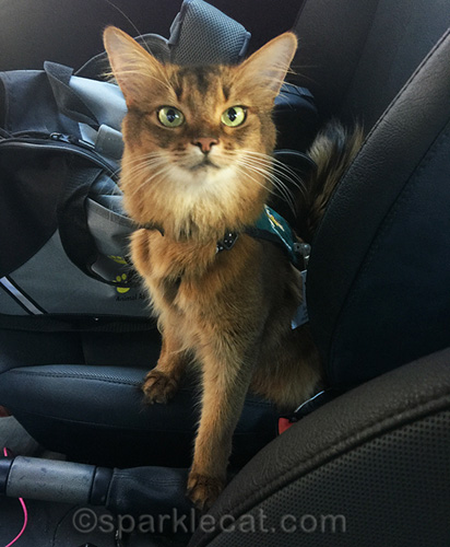 somali cat in therapy vest - se habla meow