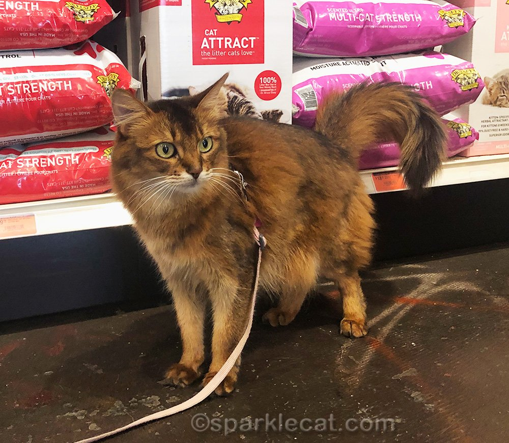 somali cat standing by cat litter aisle