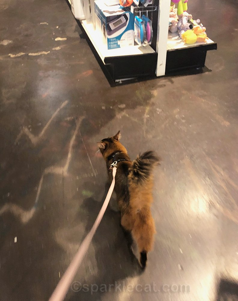 Somali cat in pet shop, walking on a leash