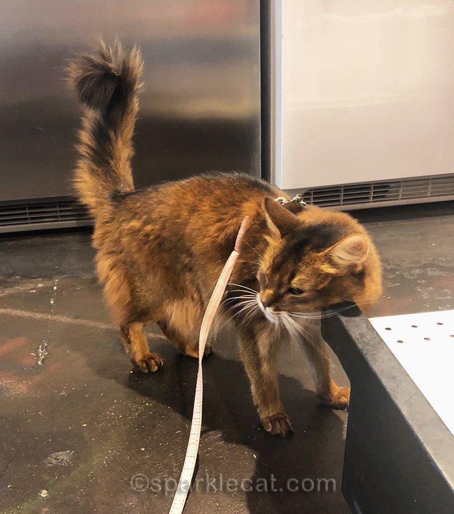 somali cat rubbing on shelf