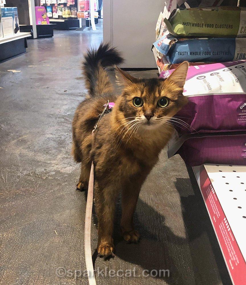somali cat looking surprised