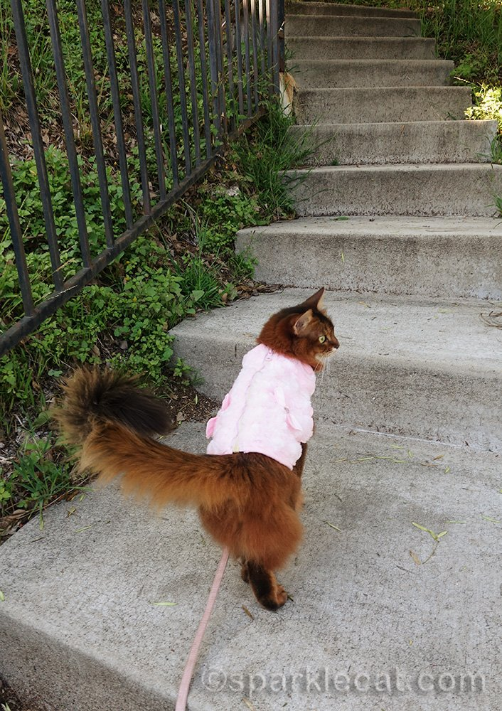 somali cat going up garden stairs