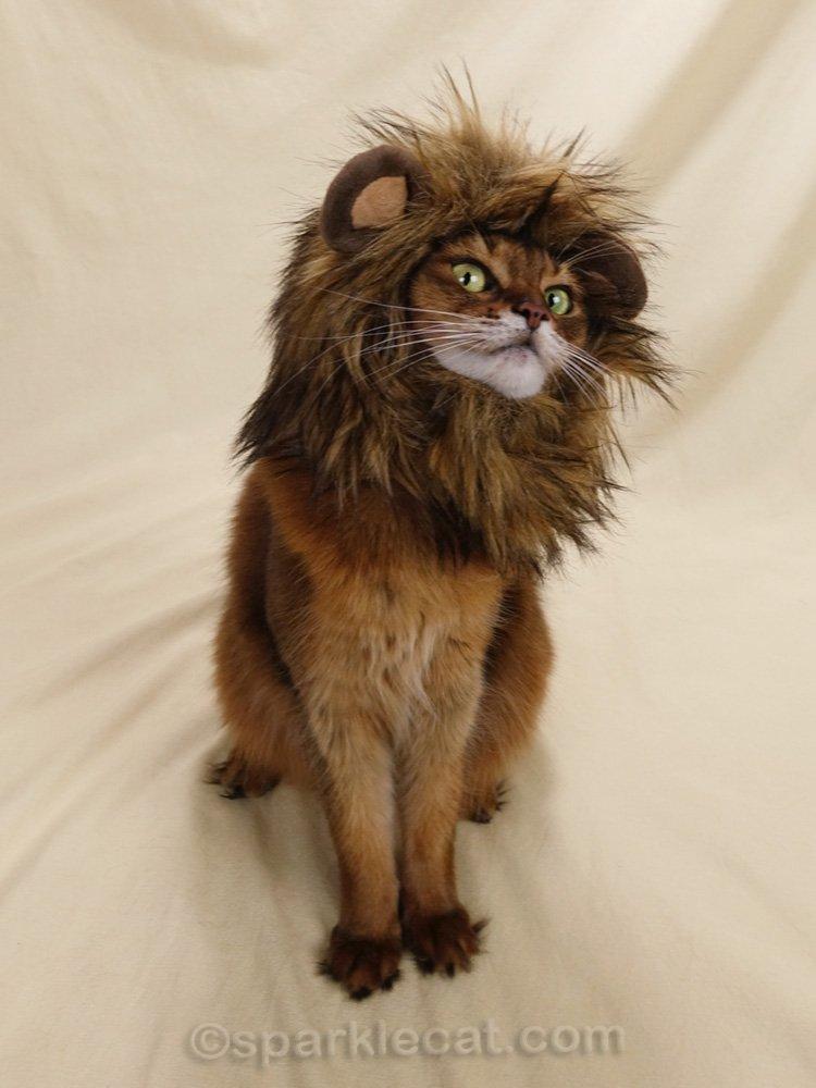 somali cat looking sketchy while wearing lion's mane