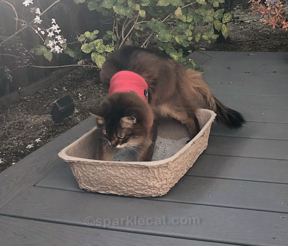somali cat on the set, digging in a little box