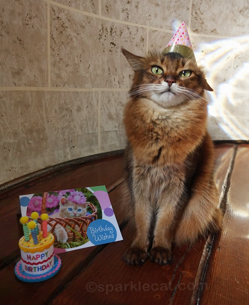 somali cat with awkward fitting birthday hat