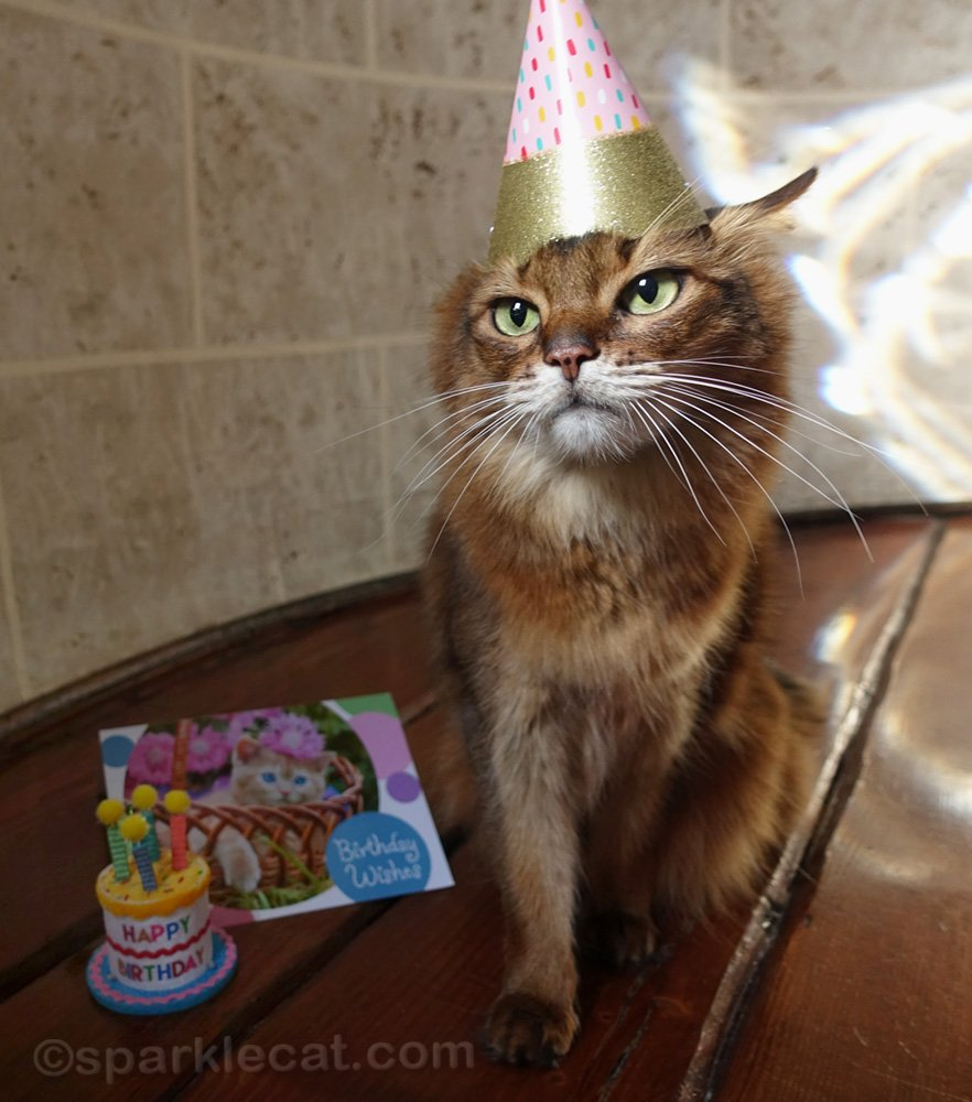 somali cat waiting for birthday hat to be taken off