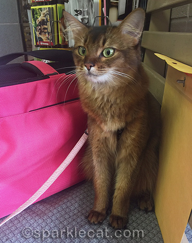 somali cat in veterinary clinic waiting room