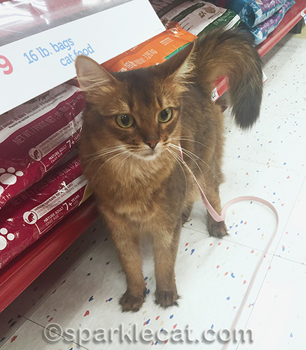 somali cat in cat food aisle at pet store