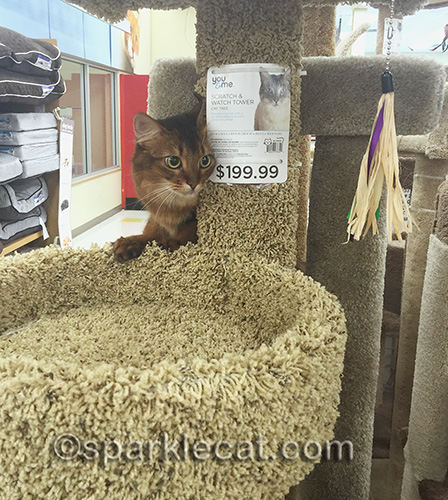somali cat poses with cat tree in pet store