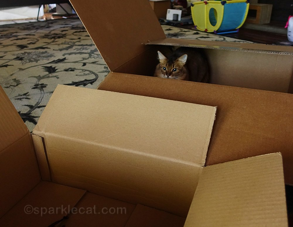 somali cat in box