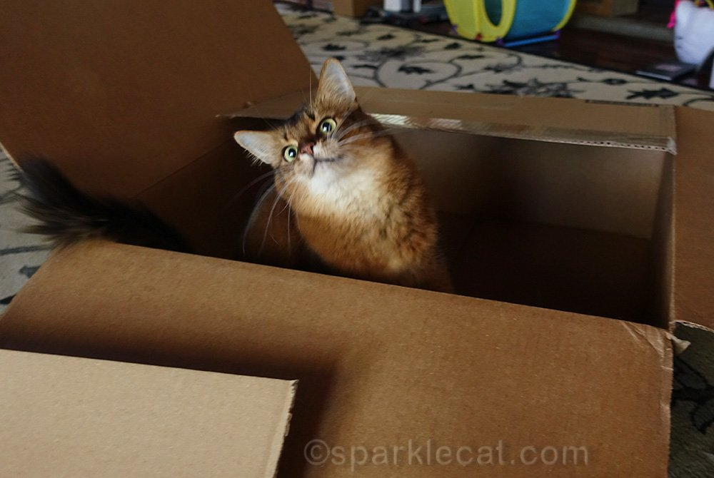 somali cat having fun in a box
