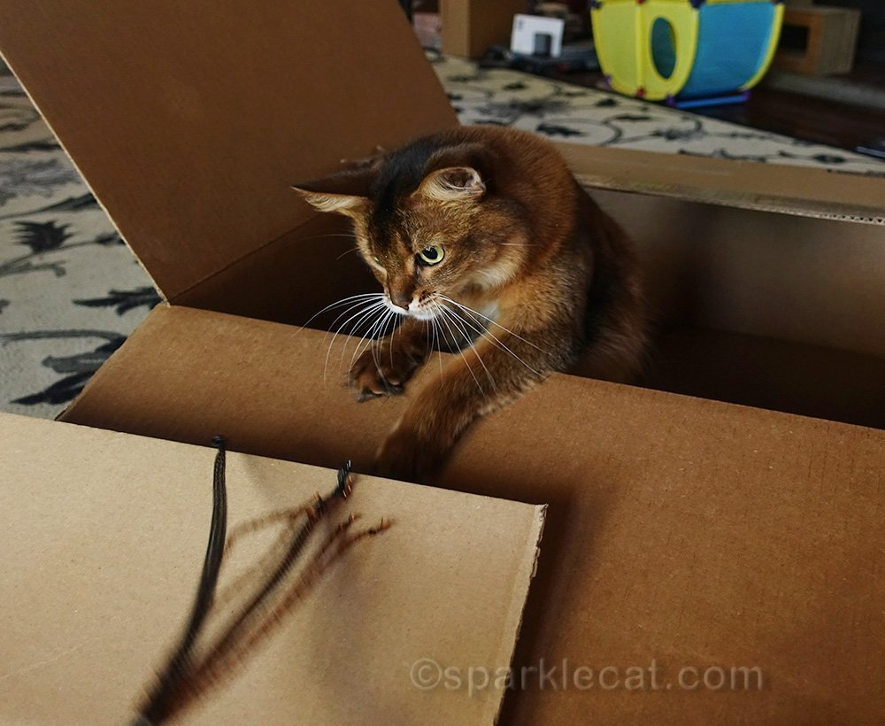 somali cat in box, playing with toy