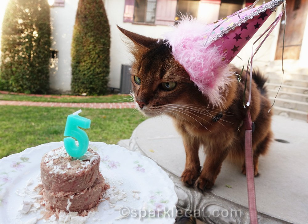 somali cat gazing at cat birthday cake