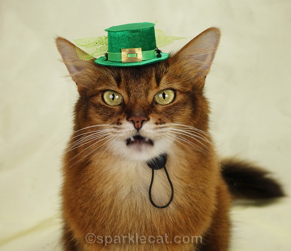 somali cat in St. Patrick's hat with mouth open