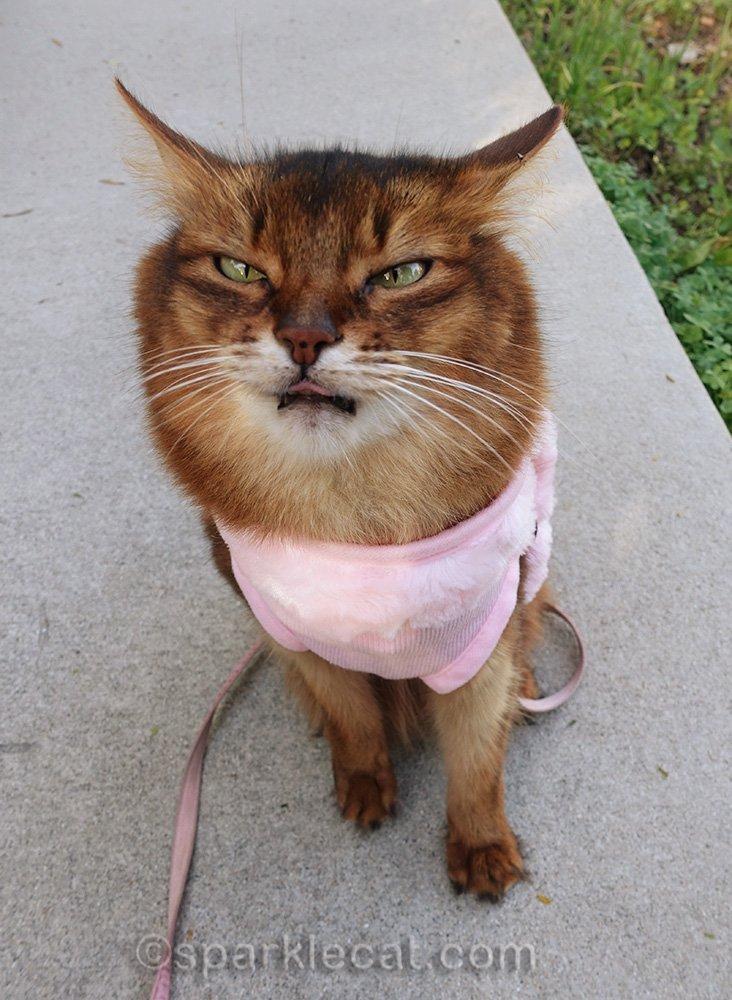 somali cat making weird face while in backyard