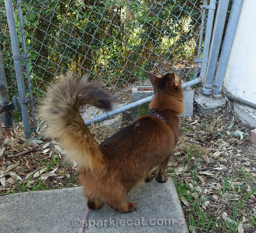 somali cat looking at chain link gate