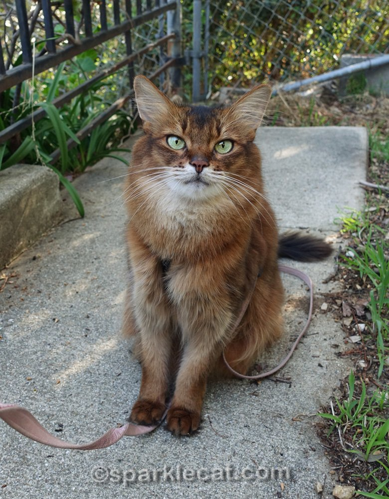 somali cat posing for some photos