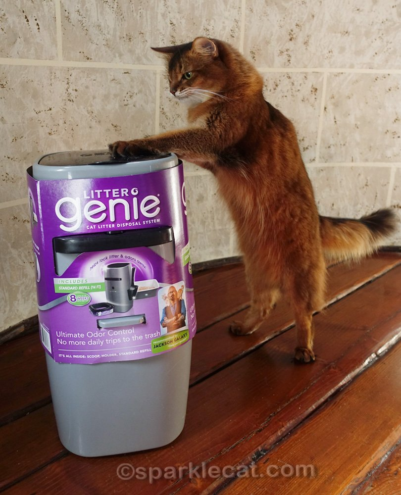 somali cat grabbing treat from top of product