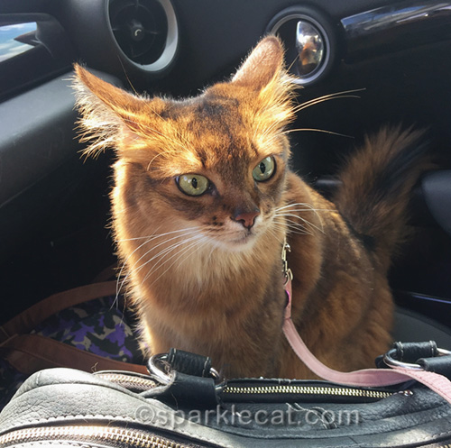 somali cat in Covina looking dubious about her trip to Palm Springs