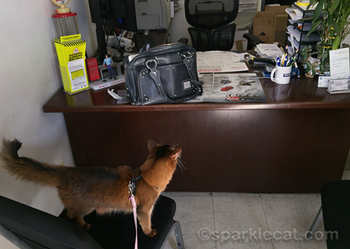somali cat looking at auto repair owner's desk