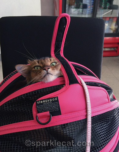 somali cat in Sleepypod carrier