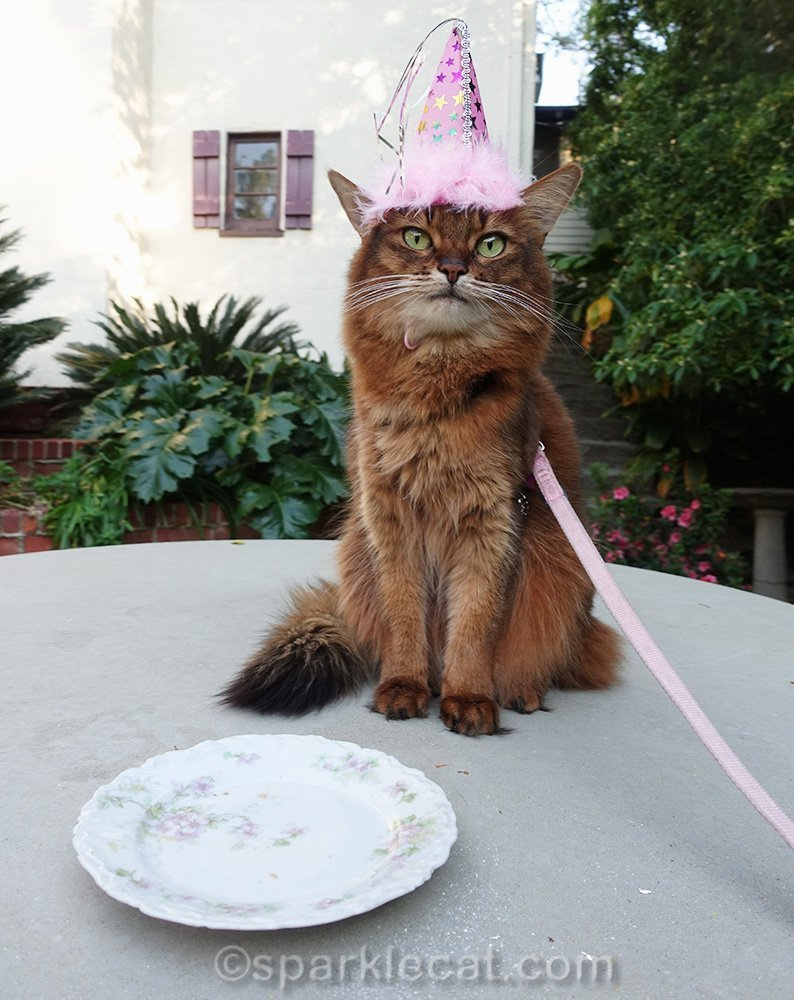 somali cat wearing birthday hat