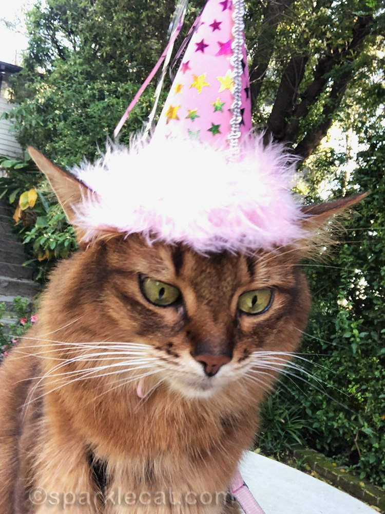 somali cat adjusting iPhone for birthday selfie