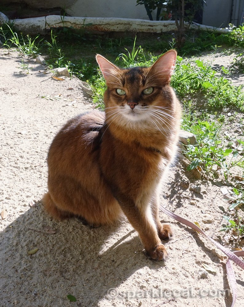 somali cat sitting outside in the sun