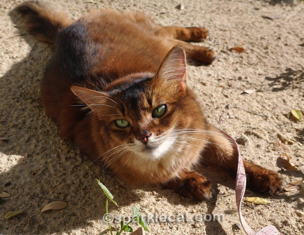 somali cat lying in the dirt