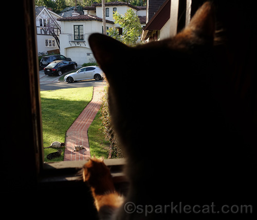 somali cat looking out of window at feral cats