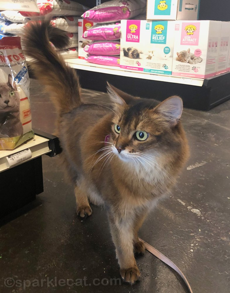 somali cat looking around pet shop