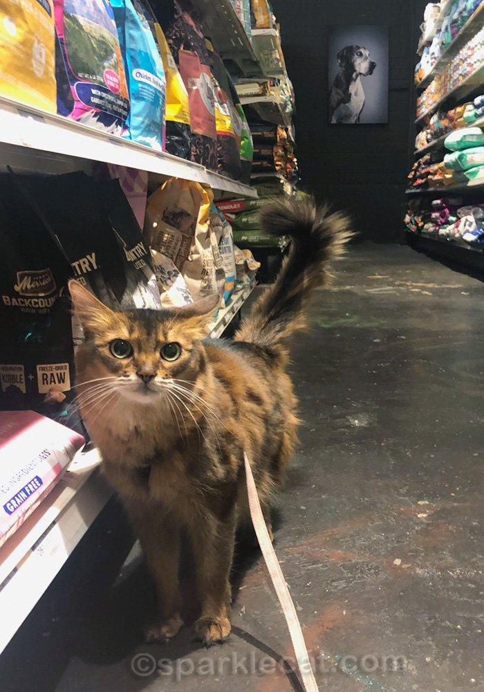 somali cat in pet food aisle of pet shop