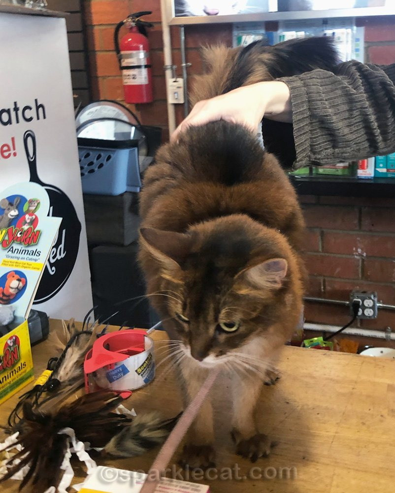 Somali cat on pet shop counter, being petted by employee