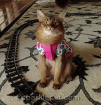 somali cat in birthday dress by toy train tracks