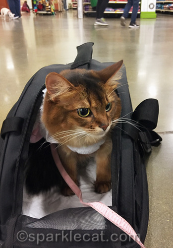somali cat in carrier, waiting to meet Easter Bunny