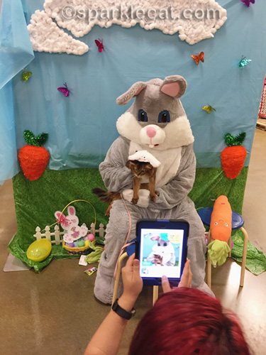 somali cat posing with Easter Bunny