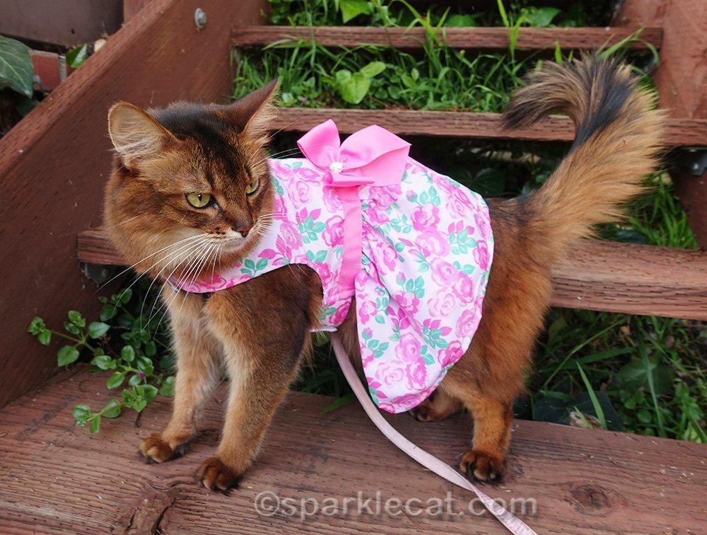 somali cat posing in pink flower dress