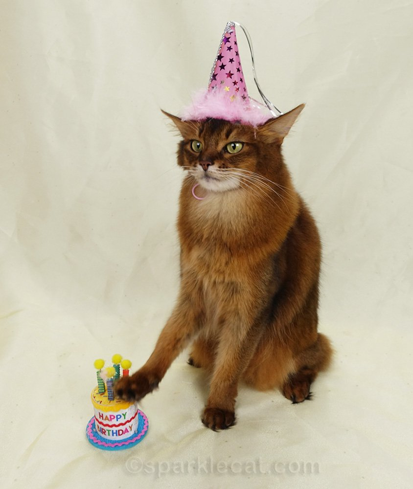 somali cat tapping birthday cake prop like it's a toy