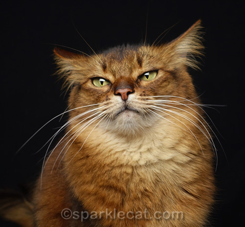 annoyed looking somali cat