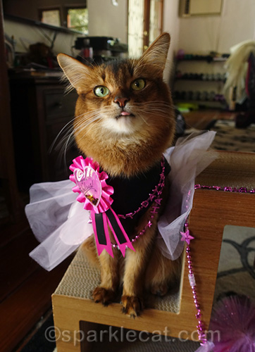somali cat in birthday dress with tongue out