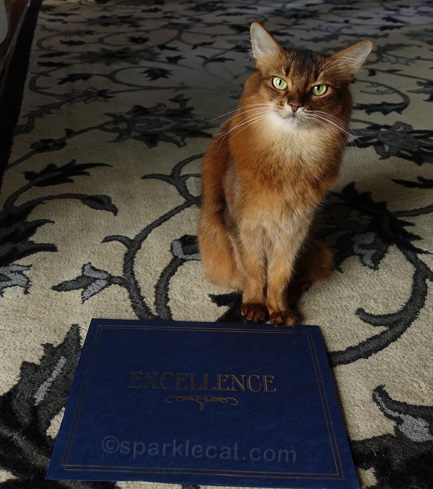 somali cat believes she is excellent
