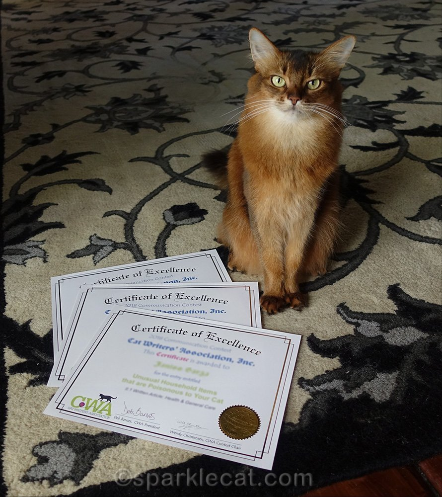 somali cat posing with certificates of excellence